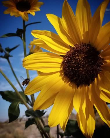 Navarroarevalomariateresa en Hamelin: Flora  (Viesca), Hermosos girasoles...un deleite para las abejas..