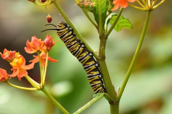 molaye02 en Hamelin: Fauna  (Las Palmas de Gran Canaria), Fotografía de una oruga de Mariposa Monarca.