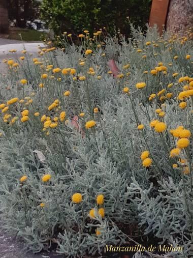 Mpinfante en Hamelin: Flora, Santolina chamaecyparissus, .
