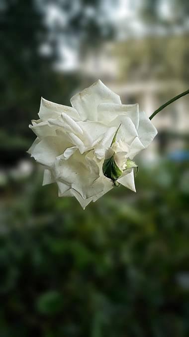 Cr93734 en Hamelin: Flora  (Ciudad de Buenos Aires), Rosa × alba, más comúnmente conocida como rosa blanca, es el nombre colectivo para una especie híbrida...