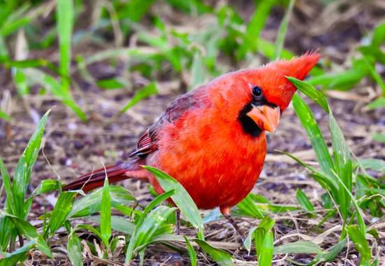choyero40 en Hamelin: Fauna  (San José del Cabo), Cardinalis cardinalis (Linnaeus, 1758), Cardenal rojo #aves #cardenal #cardenalrojo #cardenalnorteño #fot...