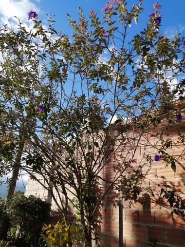 Lorenavallejo27 en Hamelin: Flora, Los árboles de flor morada me encantan #colombia #boyacá #Garagoa #mícasa