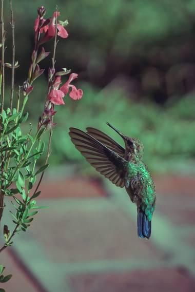 phjuaniito en Hamelin: Fauna  (Tandil), El #colibri puede mover sus alas hasta 100 veces en un segundo. Una maravilla de la naturaleza