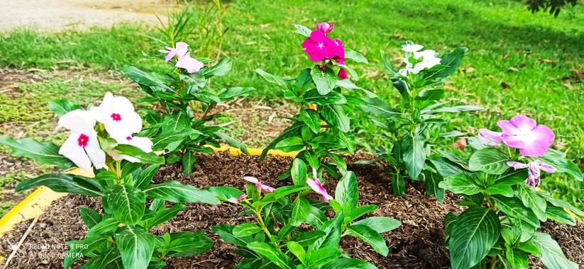 pastoressd en Hamelin: Flora  (Pitalito), Catharanthus roseus