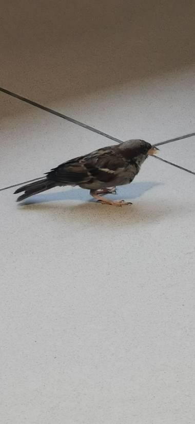 Codice722 en Hamelin: Fauna  (Benicarló), Passer domesticus (Linnaeus, 1758), #Aves21 gorrión comiendo macarrones, en restaurante de área de servicio