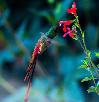 barrosteresita1 en Hamelin: Fauna  (San Miguel de Tucumán), Picaflor cometa...El macho posee una larga cola de 22cm y la hembra hasta 15cm.Construye su nid...