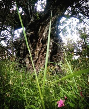 VickyOnTheRocks en Hamelin: Flora, #miscaminatas #bosque #garrofera #algarrobo #feelit #descanso #disfrutando