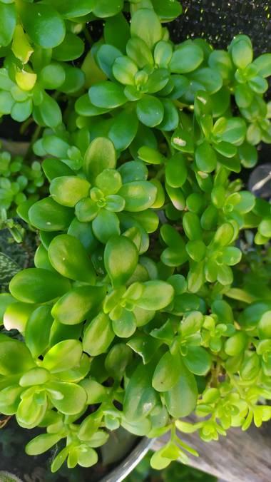 Morena clara en Hamelin: Flora, Sedum spathulifolium, 🥰🥰