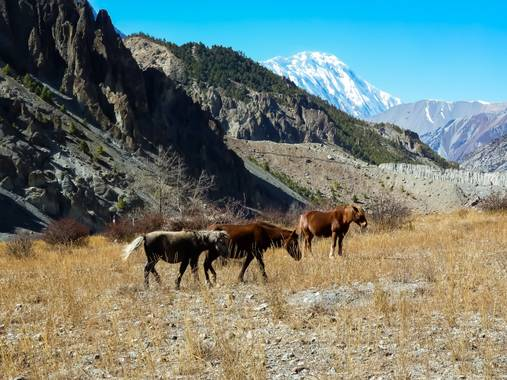 rqsalcedo en Hamelin: Fauna  (Tankimanang), Manang Nepal Caballos salvajes #invierno20