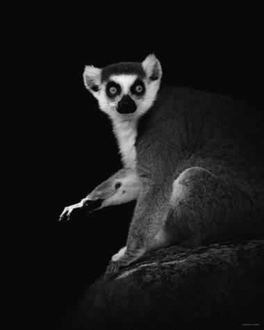 María Castro en Hamelin: Fauna  (Fuengirola), 'Retrato de lémur'