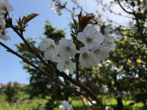 Charcu39 en Hamelin: Flora  (Poio), Prunus avium, #primaveracampelo