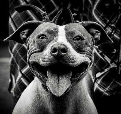 José Viana en Hamelin: Fauna  (Caracas), #pitbull #blanconegro #petlover #dogoftheday #dog #perro #sonrisa