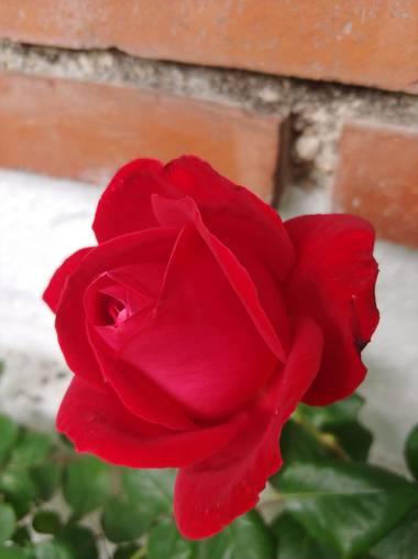Raquelitacaceres1969 en Hamelin: Flora, Rosa chinensis, No necesita filtro la pureza de su hermoso color💞💞🌼