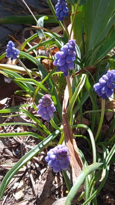 Flora y bicho en Hamelin: Flora  (Colmenar Viejo), Muscari neglectum, En Semana Santa...nazareno :) #flores #flor #flower #nazareno