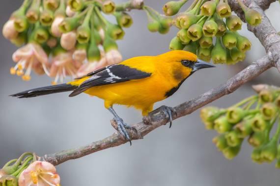 jhonathanmiranda1 en Hamelin: Fauna  (Caracas), Icterus nigrogularis (Hahn, 1819), La foto más bonita de esta especie que he tomado  #aves21 #avesdevenezue...