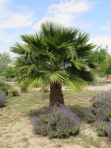 Solerantonio2 en Hamelin: Flora  (Almería), Washingtonia robusta, Palmera parque andarax