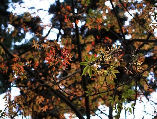 Lightscomeon en Hamelin: Flora, Acer palmatum, #hoja #naturaleza #color #rojo #verde #arbol #abril #primavera