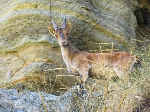 Solerantonio2 en Hamelin: Fauna  (Tabernas), Cabra en la rambla de tabernas