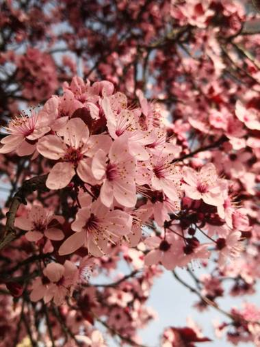 iambutterflyspirit en Hamelin: Flora  (Torrejón del Rey), Prunus cerasifera, Collection: spring is here ♥️