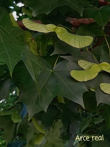 Mpinfante en Hamelin: Flora, Acer platanoides, Arce