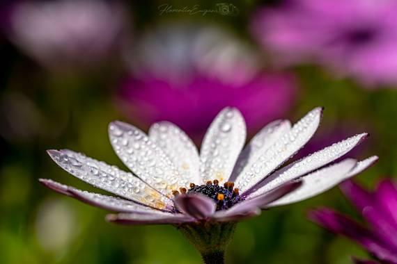 Florentinoeugenio en Hamelin: Flora  (El Catllar), Osteospermum ecklonis, #flora21
