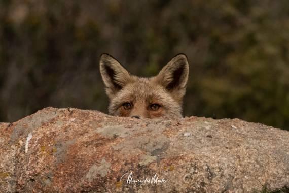 Mónica del Monte en Hamelin: Fauna  (Santa María de la Alameda), Vulpes vulpes (Linnaeus, 1758), #zorro #vulpesvulpes #faunq