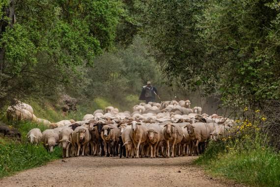 Franciscojlopez63 en Hamelin: Fauna  (Gerena), Rebaño de ovejas por el Guadiamar #ovejas #oveja #rebaño #ganaderia #hamelin