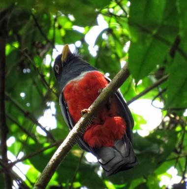ivandariovertel.97 en Hamelin: Fauna, Trogon melanurus BirdLife International, 2008