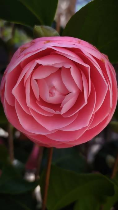 Mcjarama en Hamelin: Flora  (Benidorm), Rosa#primavera#flor#