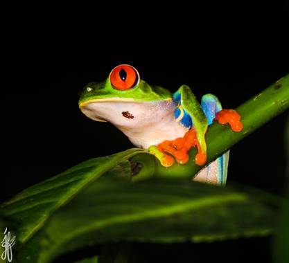 Jesús Foronda en Hamelin: Fauna  (Monte Verde), La rana verde de ojos rojos (Agalychnis callidryas) destaca por sus grandes ojos rojos con pupila vertical ...