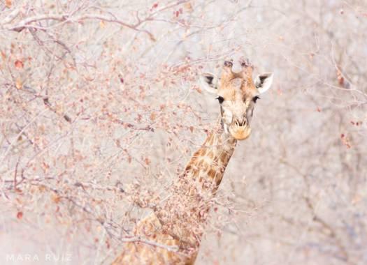 Mararuizasensio en Hamelin: Fauna  (Mavodze), #sudafrica #southafrica #sebatana #travelphotography #africa #safari #jirafa #girafa