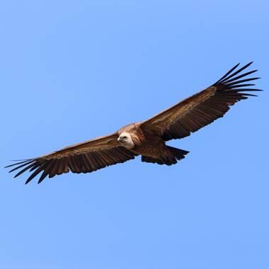 ramonportellano en Hamelin: Fauna  (Cazorla), Disfrutando del vuelo de este ejemplar de Buitre leonado #aves21