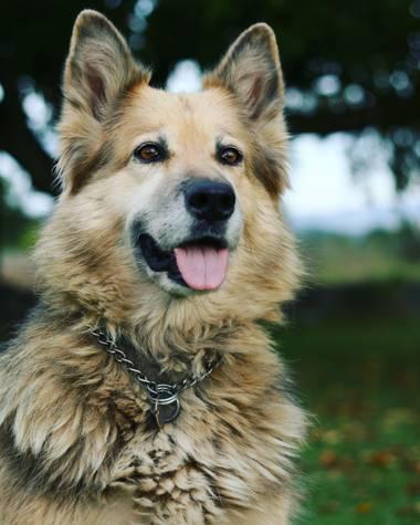 imagiaproducciones en Hamelin: Fauna  (Carracedelo), #perro #pastor #pastoraleman #compañia #nobleza #naturaleza #perrohogareño #atardecer #otoño #parquesy...