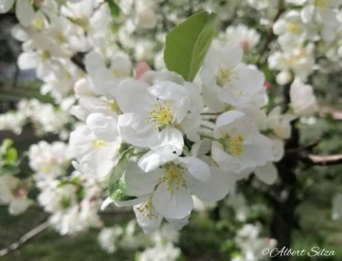 Albert Silza en Hamelin: Flora  (Madrid), Blanco primaveral.