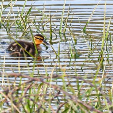 Georginaag en Hamelin: Fauna  (Malgrat de Mar), #fauna #duck