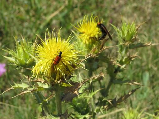 Solerantonio2 en Hamelin: Fauna  (Níjar), Bichos en las flores los escullos