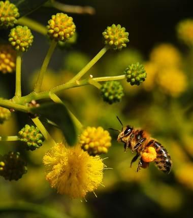 jjegeamoreno en Hamelin: Fauna  (Fuentes de Andalucía), Tan bonitas siempre con su pelotitas de polen :)