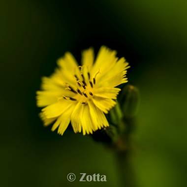 @zottaboxart en Hamelin: Flora,  #zottaboxart    @zottaboxart