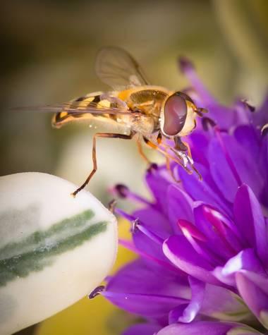jomartinezfranco en Hamelin: Fauna  (Vegas del Genil), Mosca de las flores libando. #mosca #moscadelasflores #libando #insecto #diptero #macro