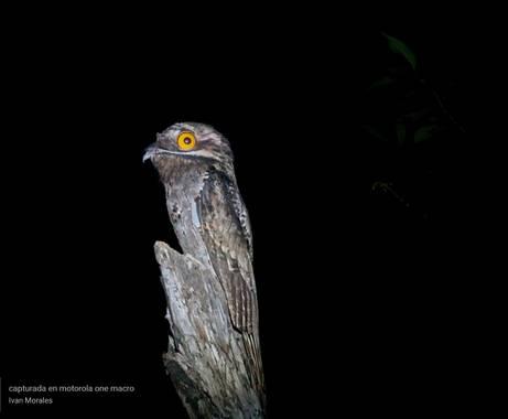 ivandariovertel.97 en Hamelin: Fauna  (Montería), Nyctibius griseus (Gmelin, 1789), Está hermosa ave nocturna es una de las tantas especies de aves estigma...