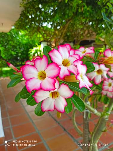 pastoressd en Hamelin: Flora  (Rivera), Adenium obesum, Flores en Riverita - Huila, Colombia