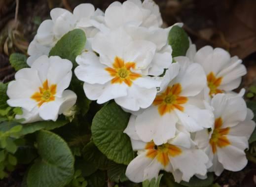 Marivi.s.i en Hamelin: Flora  (Madrid), Primula acaulis, #flora21 #flordeprimamera #flor#primavera21#primula
