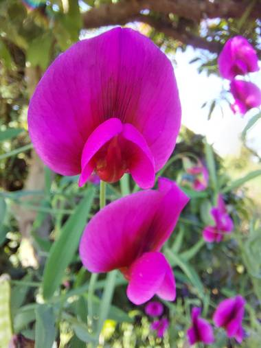 Apasnau75 en Hamelin: Flora  (Algarrobo), Lathyrus tingitanus, 💜