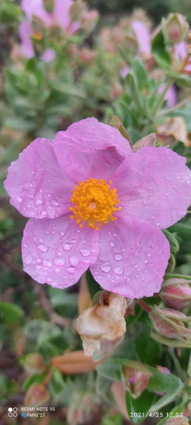 Paco  Requena en Hamelin: Flora  (San Agustín del Guadalix), Cistus albidus, Fotografía en una senda por San Agustín de Guadalix...#flora21