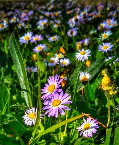 solecanale en Hamelin: Flora  (Artà), Aster alpinus, #flor #silvestre #mallorca
