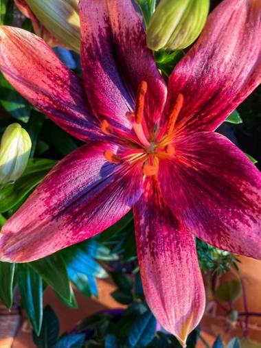 Juanih.espi en Hamelin: Flora  (Murcia), Lilium bulbiferum, Lilium granate 😍