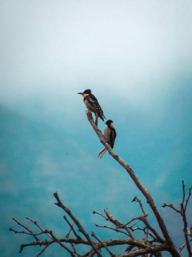 Pikeriel en Hamelin: Fauna, Melanerpes cactorum (Orbigny, 1840), #ave #pájaro #pajaros #aves