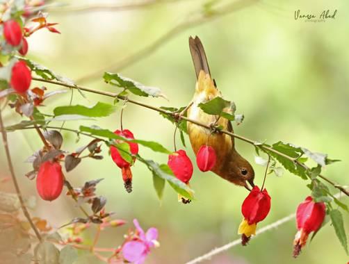 vanesaabadr en Hamelin: Fauna  (Santa Rosa de Cabal), La destreza de las Diglosas es sorprendente. Esta saltaba de rama en rama buscando su desayuno.  #ave...