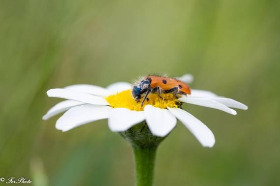 fdhphotos en Hamelin: Flora  (Titulcia), #flora21