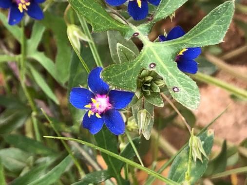 Naturalezadebarrio en Hamelin: Flora  (Calafell), Azul y violeta #polinizacion#naturalezadebarrio#flores#insectosenpeligrodeextincion#encadaventanaunaflor@...